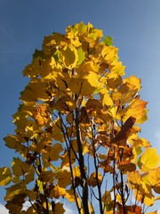 Autumn leaves under clear blue sky