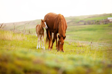 Foto op Canvas Paarden Close up photo of a little foal and his mom horse eating grass in field