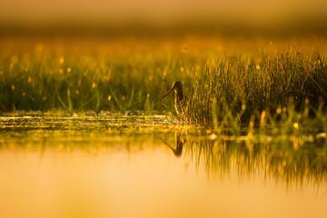 Common Snipe with wonderful light. Wetland nature background. Bird: Common Snipe. Gallinago gallinago.