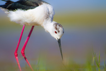 Common water bird. Colorful nature background. Bird: Black winged Stilt. Himantopus himantopus