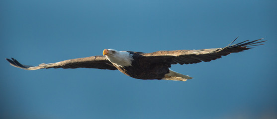 Photo sur Plexiglas Aigle Bald eagle soaring