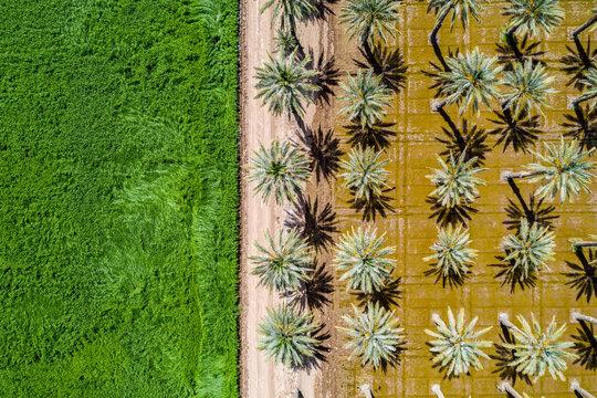 Yuma Palm Trees