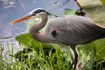 Great Blue Heron at Wakodahatchee wetlands