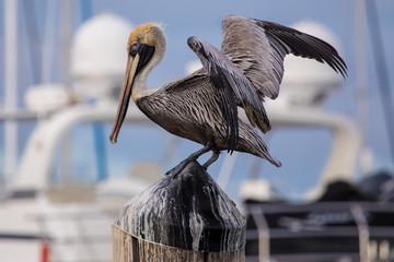 American Brown Pelican, Marina
