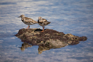 Par or Sandpipers on a rock at Matheson Hammock