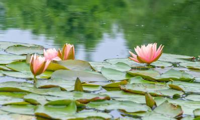 Foto op Canvas Waterlelies Pink Water Lilies on the lake