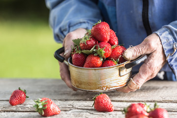 Farme's hands hold an old kitchen pot full of fresh ripe strawberries