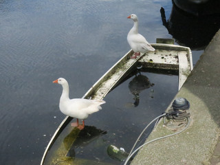 two white geese standing on a boat in a canal of Amsterdam