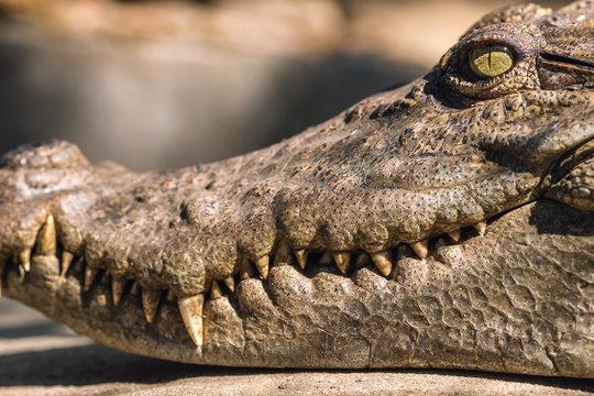 Close-up head of a crocodile