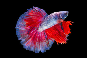 Foto op Plexiglas Vissen The moving moment beautiful of red purple siamese betta fish or fancy splendens fighting fish in thailand on black background. Thailand called Pla-kad or half moon fish.
