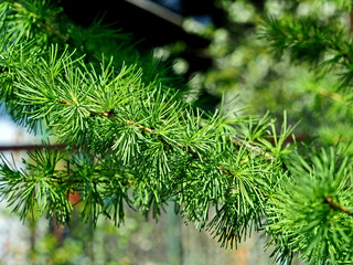 Fototapete - larch branch with fresh needles-leaves