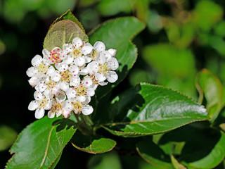 Blüten der Aroniabeeren, Aronia melanocarpa