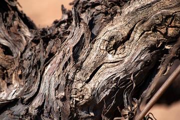 Close-up of vine trunk. Strain of old vineyard. Fototapete