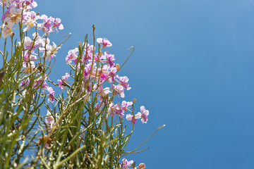 Pink Dendrobium orchids are blooming beautifully in the garden.