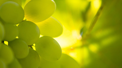 Close-up Image of Ripe Bunche of the White Wine Grapes on Vine Fototapete