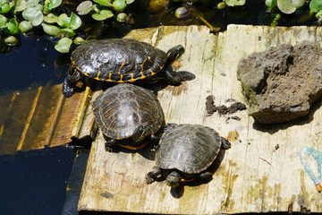 Turtles in the sun at Monte Palace Tropical Garden in Funchal from Madeira island