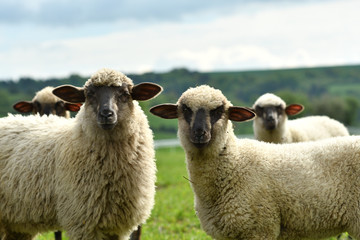 Fond de hotte en verre imprimé Sheep domestic sheep walks on a meadow and eats grass