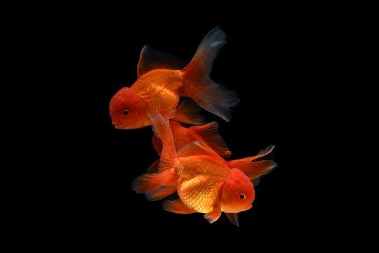 Carassius auratus goldfish Black background