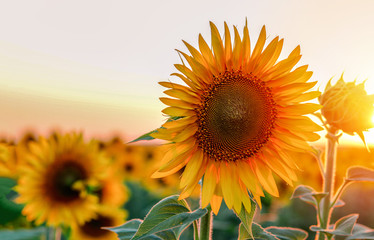 Close-up of beautiful sunflower at sunset. Copy space. Natural floral background Fototapete