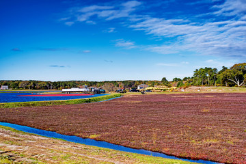 Cranberries being harvested in South Yarmouth, Massachusetts on a sunny blue sky day in Cape Cod.