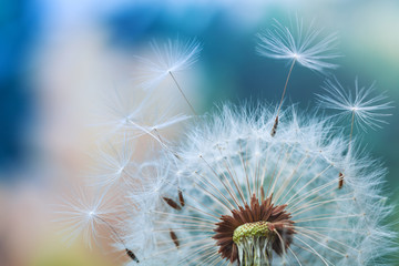 Foto op Canvas Paardenbloem Beautiful dandelion flower with flying feathers on colorful bokeh background. Macro shot of summer nature scene.