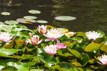Wall Murals Water lilies water lily in a pond