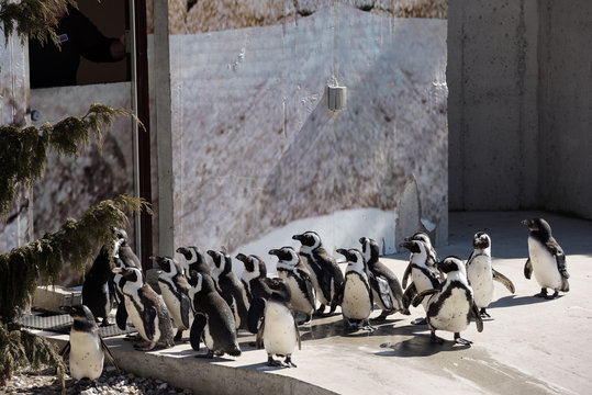 Colony of captive African Penguins lined up at feeding time