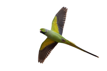 Rose-ringed parakeet (Psittacula krameri) Fotomurales