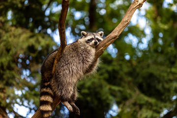 Full body of relaxing common lotor procyon raccoon on the tree branch