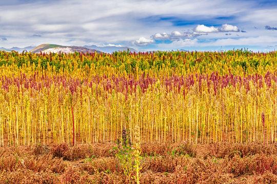 Red and yellow quinoa field in the Andean highlands of Peru near Cusco, Peru.