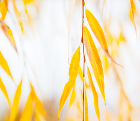 Image result for autumn willow with yellow leaves illuminated by sun
