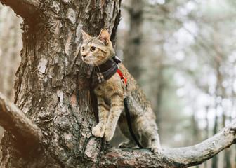 Traveler cat on a leash walking on tree.