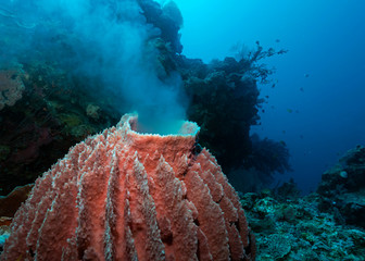 Giant Barrel Sponge Spawning in Tubbataha. The Tubbataha Reef Marine Park is UNESCO World Heritage Site in the middle of Sulu Sea, Philippines.