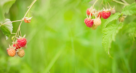Beautiful background with Branch of raspberry berries