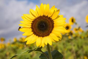 sunflower in the field