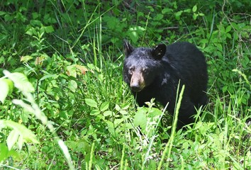 Black Bear in the Weeds