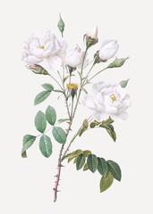Vintage white rose poster