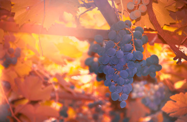 Fototapete - Blue grapes on the vine, wine variety in the vineyard, autumn natural background, selective focus