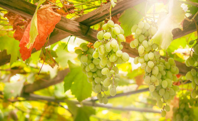 Green grapes on the vine, white wine variety in the vineyard, summer natural background, selective focus