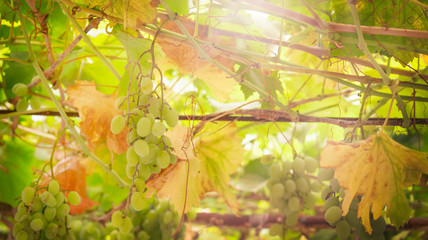 Fototapete - Green grapes on the vine, white wine variety in the vineyard, summer natural background, selective focus
