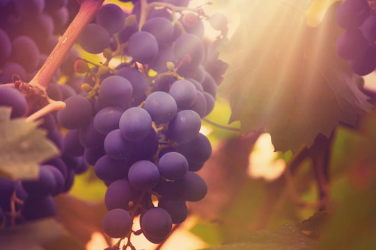 Blue grapes on the vine, wine variety in the vineyard, autumn natural background, selective focus