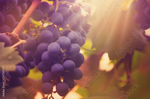 Fototapete Blue grapes on the vine, wine variety in the vineyard, autumn natural background, selective focus