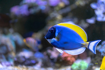 Wall Mural - Powder Blue Tang (Acanthurus leucosternon) swimming in coral reef tank