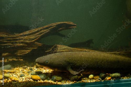 Australian Lungfish or Queensland lungfish (Neoceratodus