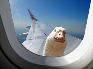Goose sitting on the wing and looks out the window of the aircraft in flight