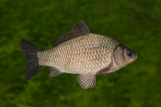 Live crucian carp fish with flowing fins isolated on natural green background