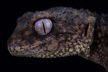 Spiny knob-tailed gecko (Nephrurus asper) Wall mural