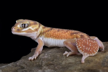 Wall Mural - Western Smooth Knob-tailed Gecko (Nephrurus levis occidentalis)
