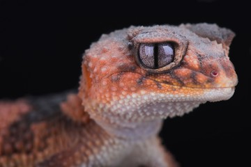 Wall Mural - Northern banded rough knob-tailed gecko (Nephrurus wheeleri cinctus)