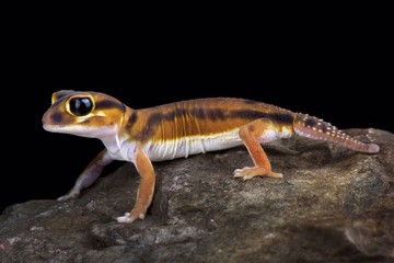 Wall Mural - Smooth knob-tailed gecko (Nephrurus laevissimus)